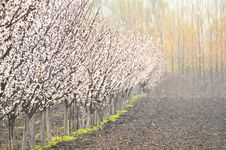Free Plum Trees Row Royalty Free Stock Photo - 19394305