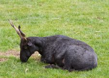 Free Goat Royalty Free Stock Image - 19394366