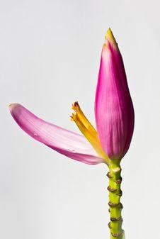 Free Small Banana Flower Royalty Free Stock Photos - 19394478