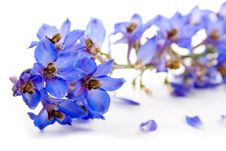 Free Blue Flower Royalty Free Stock Photo - 19396255
