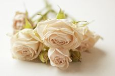 Free Pink Roses Stock Photo - 19396830