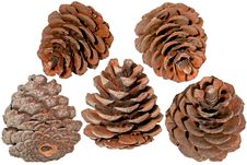 Free The Pine Cone Stock Photos - 19397383