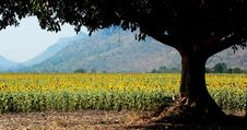 Free A Field Of Sunflowers Stock Image - 19398201