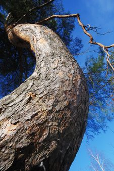 Free Lofty Curved Pine-tree Against Blue Sky Royalty Free Stock Photography - 19399717