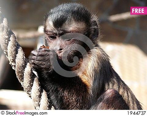 Free Monkey Royalty Free Stock Photography - 1944737