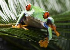 Free Red Eyed Leaf Frog Stock Photo - 1940340