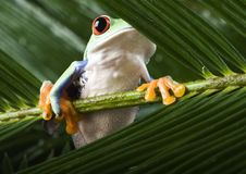 Red Eyed Leaf Frog Stock Photos