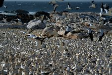 Free Cape Gannets, Lamberts Bay 3 Royalty Free Stock Photography - 1940397
