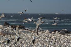 Free Cape Gannets, Lamberts Bay 4 Stock Photos - 1940403