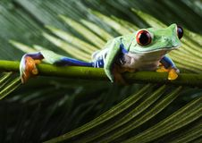 Red Eyed Leaf Frog Royalty Free Stock Photo