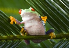 Free Red Eyed Leaf Frog Royalty Free Stock Images - 1940409