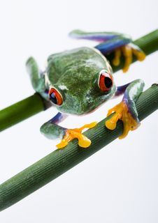 Free Red Eyed Tree Frog Stock Photo - 1940760