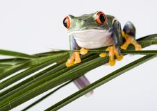 Free Red Eyed Tree Frog Royalty Free Stock Image - 1940796