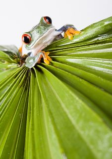 Free Red Eyed Tree Frog Stock Image - 1940841