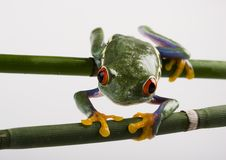 Free Frog Stock Photos - 1940863