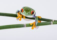 Free Red Eyed Tree Frog Royalty Free Stock Image - 1940866