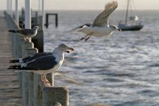 Free Flock Of Gulls In The Port Royalty Free Stock Images - 1942659