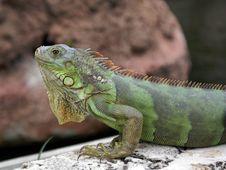 Free Green Iguana Royalty Free Stock Images - 1943379