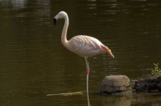 Free Flamingo Standing Stock Image - 1944751