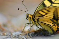 Free Butterfly Machaon 2 Royalty Free Stock Photos - 1946208