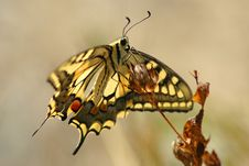 Free Butterfly Machaon 3 Stock Images - 1946404