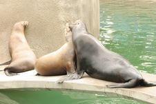 Free Sea Lions Royalty Free Stock Photos - 1946558