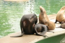 Free Sea Lions Royalty Free Stock Photography - 1946587