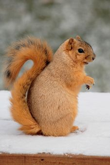 Free Cute Squirrel Standing Stock Images - 1947294