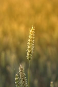 Free Sunset Wheat Stock Image - 1949691
