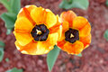 Free Yellow-red Tulip Flowers. Royalty Free Stock Image - 19401146