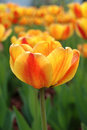 Free Yellow-red Tulip Flowers. Royalty Free Stock Photography - 19401227