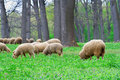 Free Grazing Sheep Royalty Free Stock Photography - 19402007