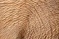 Free Elephant Skin Royalty Free Stock Photos - 19405438