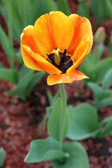 Free Yellow-red Tulip Flowers. Stock Photos - 19401243