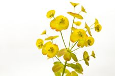 Free Euphorbia Flowers Stock Photo - 19401520