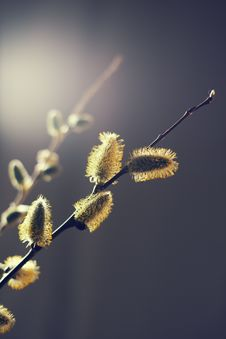 Free Willow Branches With Buds. Spring Stock Photography - 19403052