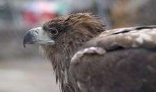 Free Golden Eagle Royalty Free Stock Image - 19404656