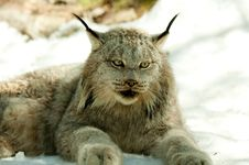 Free Lynx In Winter Royalty Free Stock Photos - 19405208