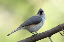 Free Tufted Titmouse - Ontario, Canada Stock Images - 19405244