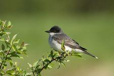 Free Eastern King Bird Royalty Free Stock Images - 19405529