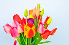 Free Tulips Stock Photo - 19405660