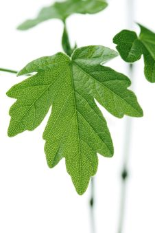 Free Green Leaf Royalty Free Stock Image - 19405906