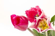 Free Tulips Royalty Free Stock Images - 19406639