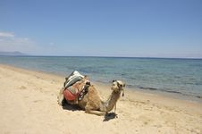 Free Camel On Sinai Beach, Egypt. Stock Photography - 19406842