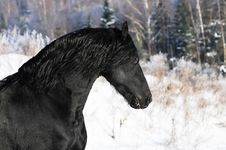 Black Horse Runs Gallop In Winter Royalty Free Stock Photos