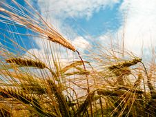 Free Golden Barley Ears Royalty Free Stock Photos - 19408648