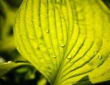 Free Water Drops On The Fresh Green Leaf Royalty Free Stock Images - 19408669