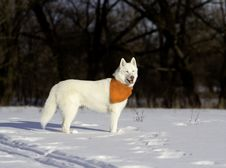 Siberian Husky In Snow Stock Photography