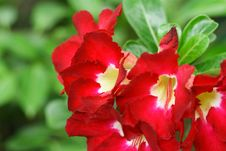 Free Red Flower Royalty Free Stock Photos - 19409618