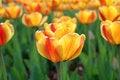 Free Yellow-red Tulip Flowers. Stock Photo - 19418860